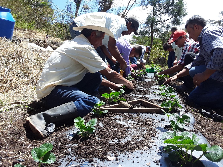 Graças à sua contribuição, poderemos apoiar os produtores de morango que são membros de cooperativas agrícolas na Nicarágua em novas áreas com potencial produtivo.